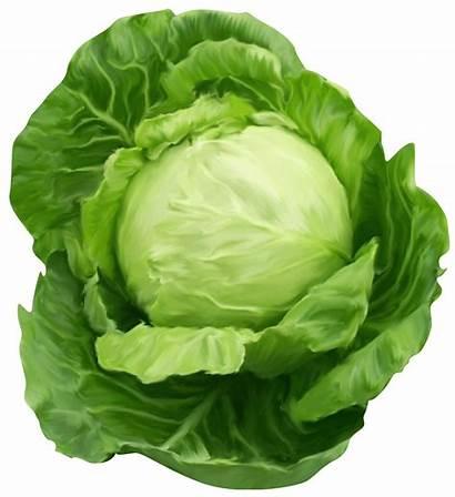 Clipart Vegetables Watercolor Cabbage Transparent Benefits Health