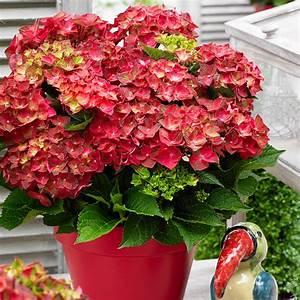 Hortensie Endless Summer Standort : garten hortensie ruby tuesday von g rtner p tschke ~ Lizthompson.info Haus und Dekorationen