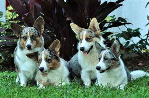 Akc Reg'd Cardigan Corgi Breeder Located In Stuart, Florida; Cathy And Joe Baker, Sunkissed Kennels