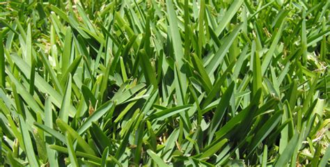 How To Treat St. Augustine Grass In Spring
