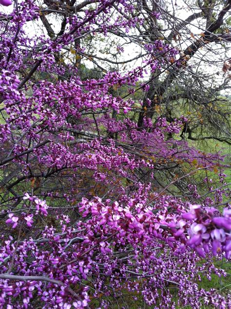 california tree with purple flowers california redbud tree these are the bright purple flower trees of spring that are blooming now