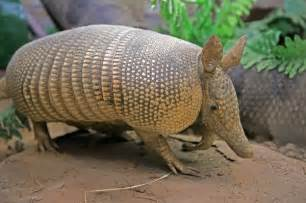 What Does a Nine Banded Armadillo Eat