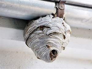 Wer Entfernt Wespennester : wespennest entfernen tipps zum umgang mit wespen ~ Frokenaadalensverden.com Haus und Dekorationen