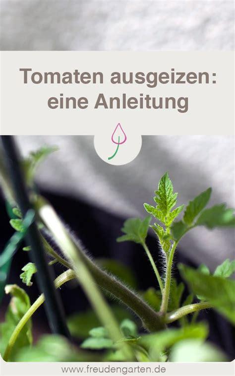 tomaten pflanzen anleitung tomaten ausgeizen so geht es garten pflanztips
