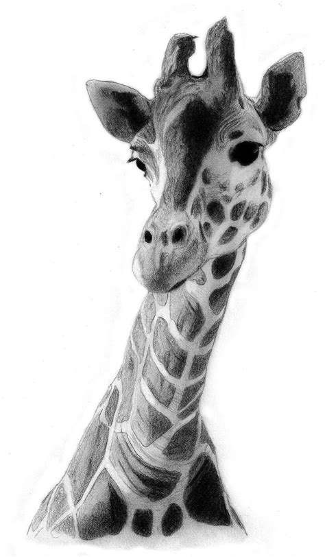 images  giraffe drawing  pinterest