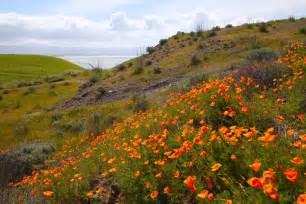 california poppy coyote hills regional park fremont california henry  photography