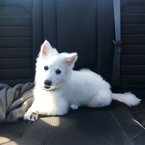 American Eskimo Dog Simple English The Free