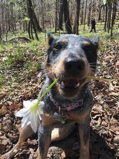Cattle Dog Australian Dogs Ava Heeler Breeds