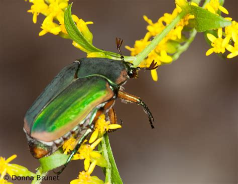 Green June Beetle   MDC Discover Nature