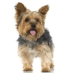 Adult Yorkie Yorkshire Terrier