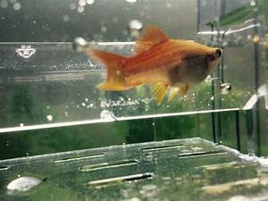 Just Wanted To Know If My Swordtail Fish Pregnant? Looks ...