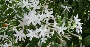 Jasmin Pflanze Pflege : jasmin pflanzen pflege und tipps mein sch ner garten ~ Markanthonyermac.com Haus und Dekorationen