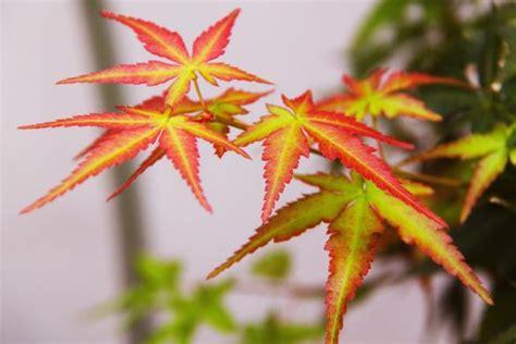 erable du japon en pot planter un 233 rable du japon en pot gamm vert