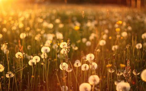 wallpapers dandelions in a field wallpapers