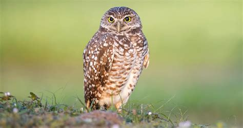 Burrowing Owl Identification, All About Birds, Cornell Lab