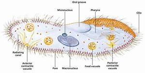 Paramecium Under Microscope 40x Labeled