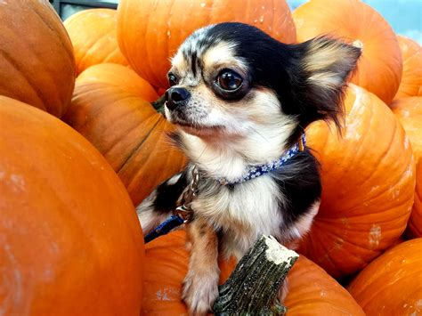 Basic B 🐶👸 : Chihuahua
