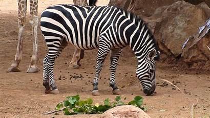 Zebra Giraffe Animals Wallpapers Laptop Goodwp Stones