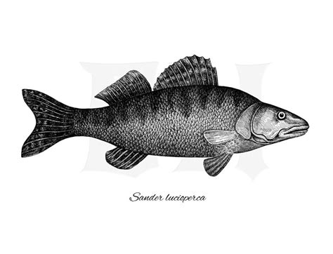 Zander Walleye Black White Ink Drawing Fish