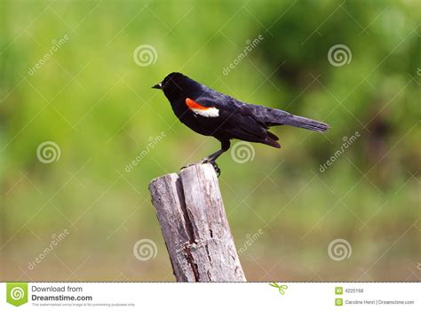 best 28 what do winged blackbirds eat red winged
