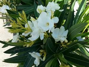 Plantes à Feuillage Persistant : laurier rose pot 15l 24 90 saisir jardinerie ~ Premium-room.com Idées de Décoration
