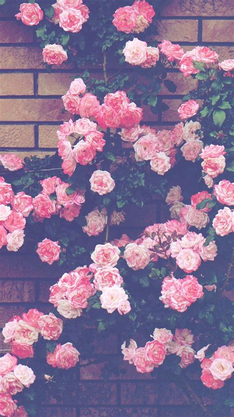 pink roses aesthetic wallpapers
