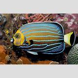 Reef Triggerfish | 800 x 521 jpeg 270kB