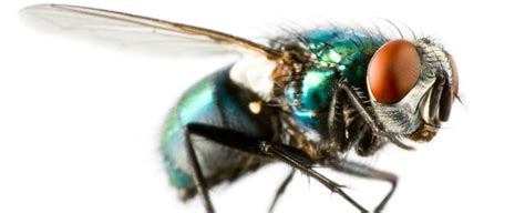 how does a house fly live how do flies live ehrlich pest