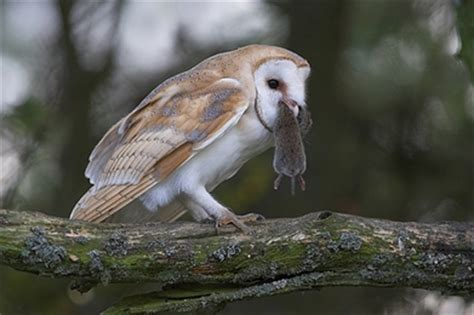 What Do Barn Owls Eat by Barn Owl Vole