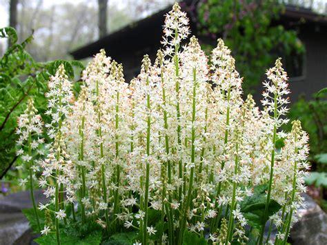 Lange Blühende Blumen by Tiarella Cordifolia A Photo On Flickriver