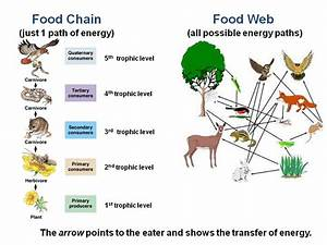 What Is The Difference Between A Food Chain  A Food Web