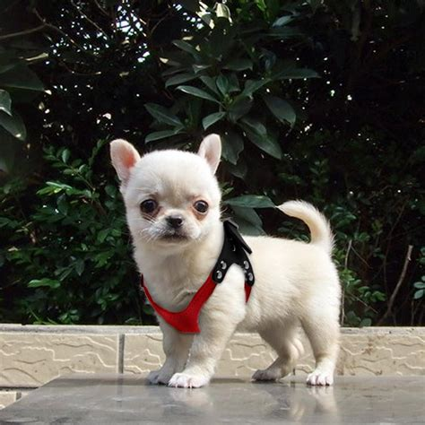 soft suede leather small dog harness  puppies