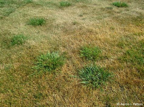 fescue grass types top 28 bad fescue vs fescue chewings fescue tall fescue high yielding forage grass or