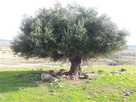 file olivier d alg 233 rie jpg wikimedia commons