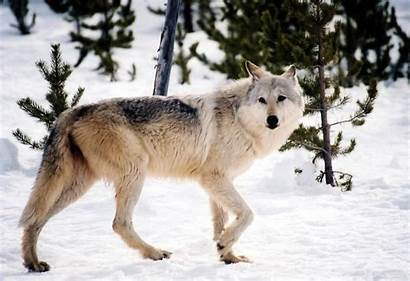 Wolf Yellowstone Tree Park National Gray Genealogy