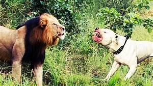Pitbull Dog Attack Lion