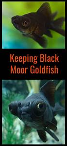 Caring for Black Moors in an Aquarium - PBS Pet Travel