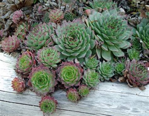 where to buy hens and plants still waters notes from a virginia shire succulents