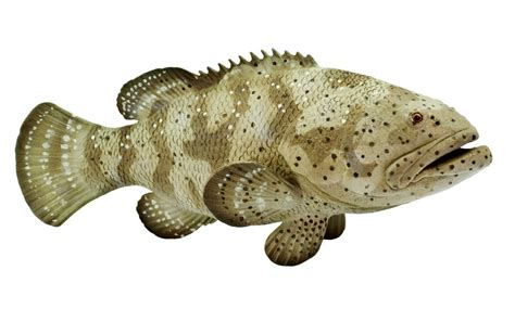 grouper goliath bubbles leave fish atlantic