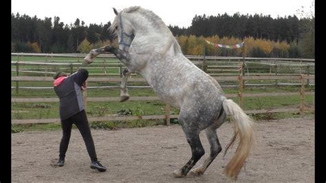 pferd training bodenarbeit vertrauen der mit dem pferd tanzt