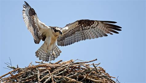 meet richmond  rosie  nesting osprey couple
