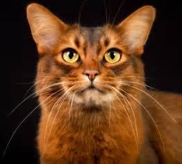 cat for cats somali cat breeders in canada on pickapawsomali in canada