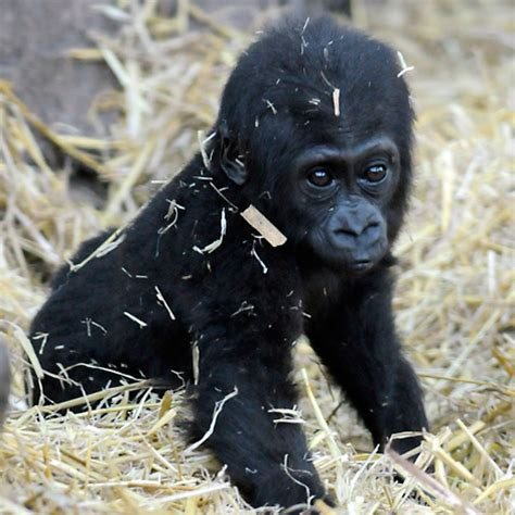 gorilla baby chessington zoo lowland western babies gorillas animals monkey cute zooborns animal spider adorable busy monkeys mountain want binturong