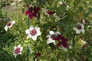 Clematis Immergrün Winterhart : clematis florida 39 sieboldii 39 online kaufen ~ Markanthonyermac.com Haus und Dekorationen