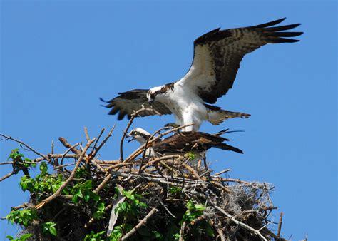 Images Of Osprey Osprey Prepare To Mate Birds Osprey