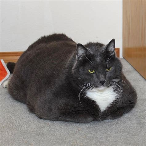 cat fat overweight weight sheila miserable pounds journey shelter happiness lost finds loss loses remarkable he meow gained surrendered