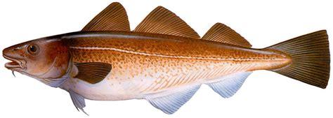 comment cuisiner la morue livinginlisbon dossiers la pêche à la morue la quot faina quot