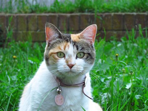calico cats cat chats tortoiseshell female tricolores pourquoi why tricolore chat femelles toujours sont pet couleurs trois types national week