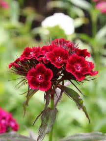 sweet william flowers 25 most beautiful flowers pictures