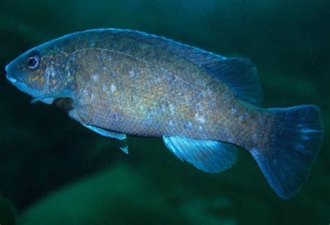 tanche tautogue poisson
